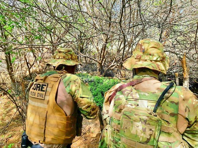 PRF detecta plantação gigante e erradica 230 mil pés de maconha no Sertão de Pernambuco